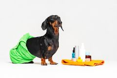 Cute dog dachshund, black and tan, wrapped in a green towel, after showering with a rubber yellow duck, cans of shampoo, bathroom. Accessories, isolated on a royalty free stock photos