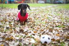 Cute dog of the Dachshund breed, black and brown, in red white clothes sweater, jacket looks of a toy ball, in an autumn park am. Ong fallen leaves royalty free stock photo
