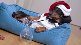 Cute dog dachshund in santa hat after party lies in bed with hangover looks trying to fall asleep.