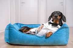 Cute dog dachshund in a white shirt and tie butterfly after a party lies in bed with a hangover trying to sleep.