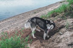 Cute dog digs the ground. Husky dog in the sand. Crafty muzzle siberian husky. Cute dog digs the ground. Husky dog in the sand. Crafty muzzle siberian husky stock photo