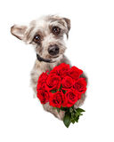 Cute Dog With Dozen Red Roses. Overhead view of an adorable little dog standing and holding a bouquet of red roses while looking up with sad eyes. Can express Stock Image