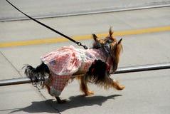 Cute dog in a dress Stock Photos