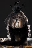 Cute dog dressed with black vintage feathered hat with rose and veil, and fluffy boa Stock Photo