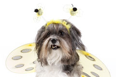 Cute dog dressed up as a bumble bee Stock Image