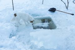 Cute dog drinking water from hole in a frozen lake during the sundown stock image