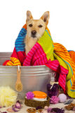 Cute dog drying off after a bath Royalty Free Stock Photography