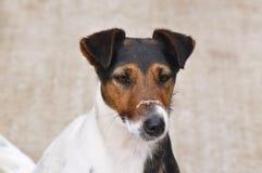 Dog with dust on muzzle Stock Photos