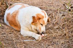 Cute dog eating bone Stock Photography