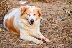 Cute dog eating bone Stock Image