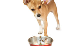 Cute dog eating from bowl Royalty Free Stock Images