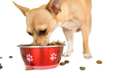 Cute dog eating from bowl. On white background Royalty Free Stock Image
