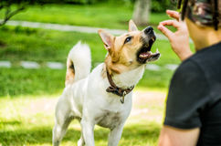 A cute dog is eating a snack from his owner Royalty Free Stock Photo