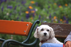 Cute dog enjoys the park bench Stock Images
