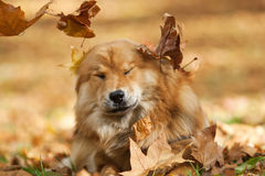 Cute dog between falling leaves Royalty Free Stock Image