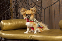 Cute dog in a fashion clothes. Cute Chihuahua dog in designer clothes Stock Images