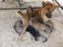 Cute dog feeding puppies. A street dog feeding her puppies on the beach in Cambodia Royalty Free Stock Images