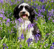 Cute dog in a field of bluebells. Cute long haired dog in a field of bluebells stock photos