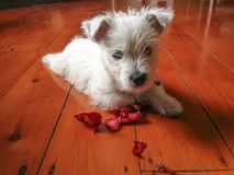 Cute dog with flower: west highland terrier westie puppy with ch. Ewed red petals on timber hardwood floor in New Zealand, NZ Stock Photos