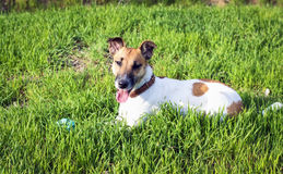 Cute dog fox terrier on a green meadow with a ball Royalty Free Stock Photos
