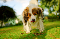 Cute dog with funny tongue. A funny, cute dog licking his lips with scruffy dog-eared look Stock Photo