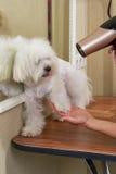 Cute dog getting fur dried. White maltese, grooming salon Stock Photo