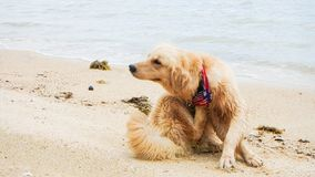 Cute dog golden retriever scratching on beach funny. Pose royalty free stock images