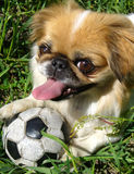 Cute dog on the grass. Cute dog lying on the grass with ball on is paws Royalty Free Stock Photos