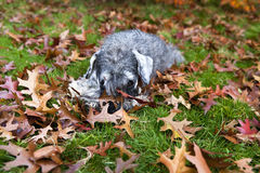 Cute dog in the grass. Cute dog zwergschnauzer in the grass during autumn royalty free stock images