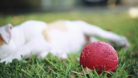 Cute dog with green eyes laying down on grass and playing with ball stock footage