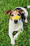 Cute dog in green grass with yellow flower on muzzle. Cute Jack russell terrier Dog in green grass background with yellow flower on muzzle looking at camera. No royalty free stock image