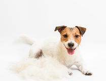 Cute dog after grooming hair cut lying down. Jack Russell Terrier near fur heap Royalty Free Stock Image