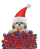 Cute dog in a hat of Santa Claus with xmas balls background Royalty Free Stock Photo