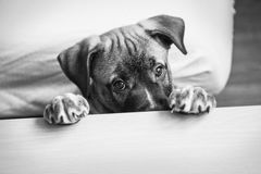 Cute dog hides behind a table and looks at the camera Royalty Free Stock Image