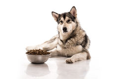 Cute dog and his favorite dry food on a white background. Cute dog Alaskan Malamute and his favorite dry food on a white background, very good publicity stock photography
