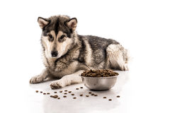 Cute dog and his favorite dry food on a white background. Cute dog Alaskan Malamute and his favorite dry food on a white background, very good publicity royalty free stock photo