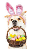 Cute Dog Holding Easter Basket Wearing Bunny Ears Royalty Free Stock Image