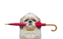 Cute dog is holding an umbrella Royalty Free Stock Images