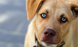 Cute Stray Dog. Horizontal and candid photo of a cute homeless stray dog with vivid blue eyes, looking at the camera stock images