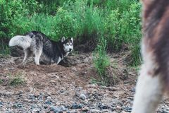 Cute dog husky digs pit in the ground. Muzzle doggy in the sand. Crafty face siberian husky.  royalty free stock images
