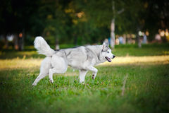 Cute dog husky running on the grass Stock Photos