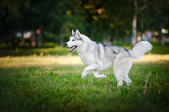 Cute dog husky running on the grass Stock Photo