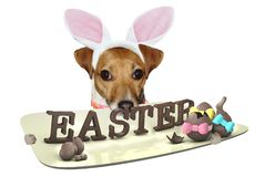 Cute dog jack russel have a plate with easter letters between legs stock photography