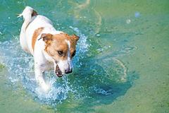 A cute dog Jack Russell swiming in blue water in the river at sunny summer Stock Image