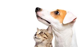 Cute dog Jack Russell Terrier and  kitten Scottish Straight. Side view isolated on white background stock image
