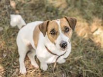 A cute dog Jack Russell Terrier looking with curiosity into camera sitting on green grass at summer day Stock Photo