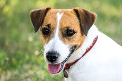 A cute dog Jack Russell Terrier looking to the camera Royalty Free Stock Photography