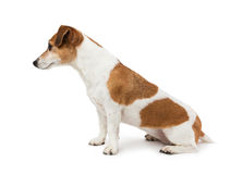 Cute Dog  Jack Russell terrier sitting sideways in profile Stock Image