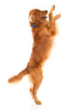 Cute dog jumping Royalty Free Stock Photo