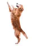 Cute dog jumping. Isolated over a white backgorund Stock Image